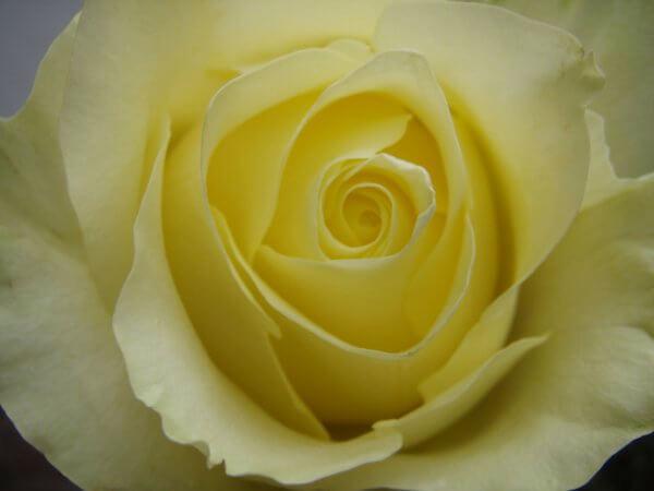 Gelbe Rose Nah 1